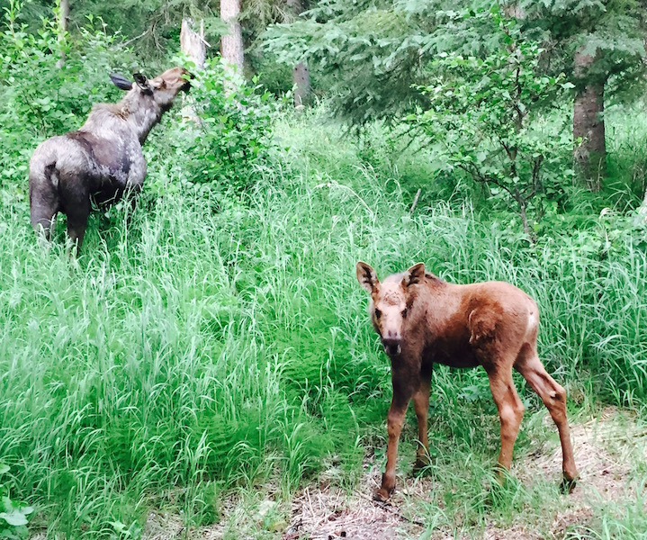 moose and baby summer 2015